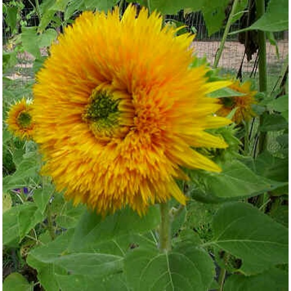 Helianthus Giant Double Sungold (Sunflower)