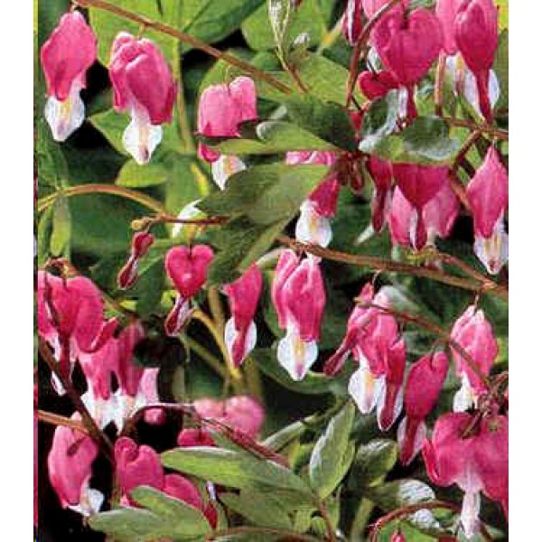 Dicentra Spectabilis Pink (Bleading Heart, Lyre Flower)