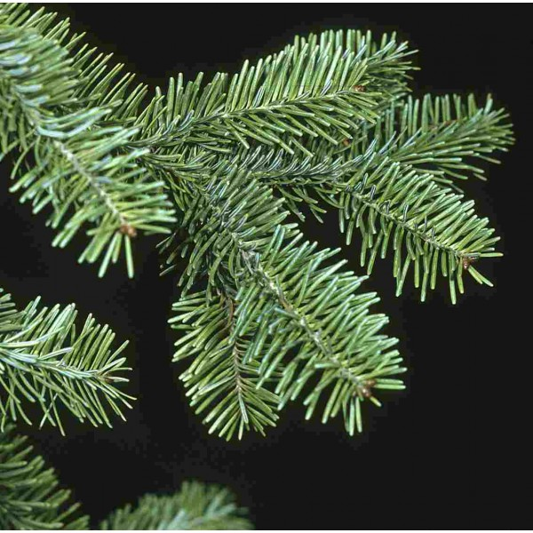 Balsam Fir Seeds