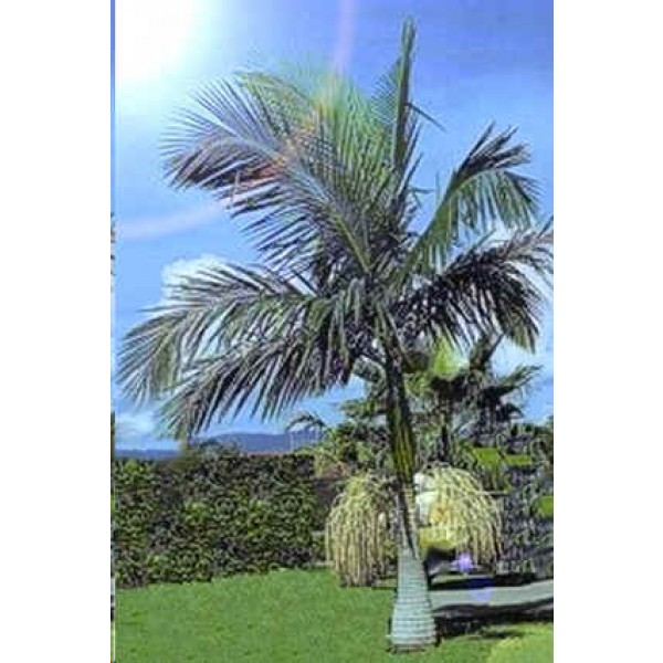Archontophoenix Alexandrae Seeds (King Palm Seeds ...