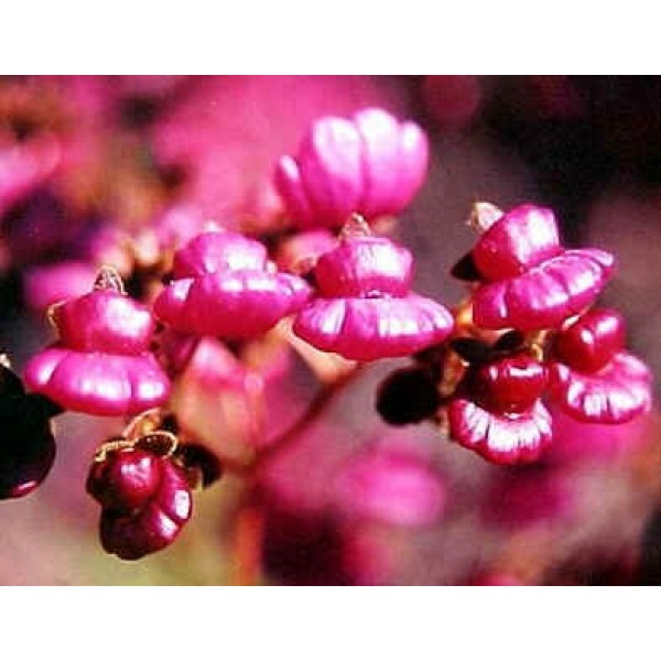 Graines Calceolaria Purpurea