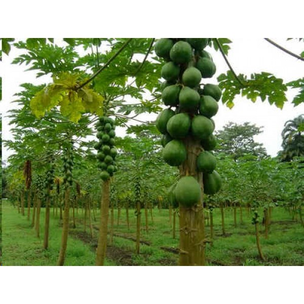 Graines Carica Papaya (Graines Papayer, Graines Papaye)