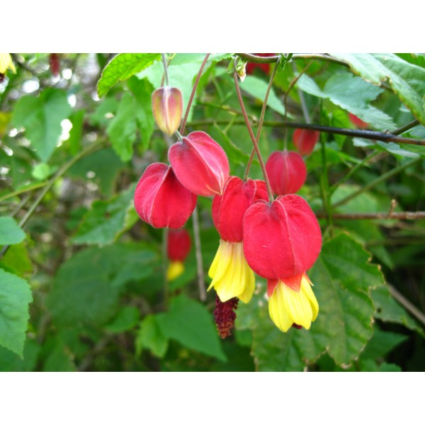 Abutilon Megapotamicum Seeds (Chinese Lantern, Flowering Maple Seeds)