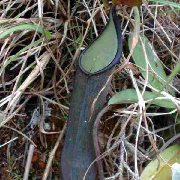 Graines Nepenthes Ramispina