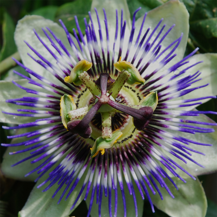 Buy Passion Flower Seeds Online Rarexoticseeds