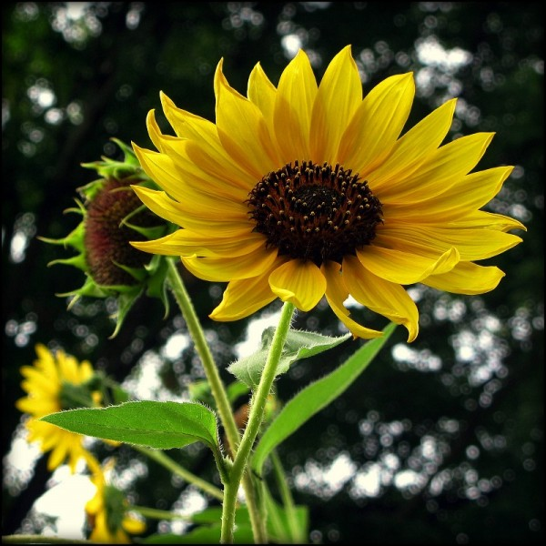 Helianthus Pastel Babies (Sunflower)