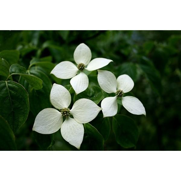 Cornus Kousa Chinensis Seeds (Chinese Kousa Dogwood Seeds)
