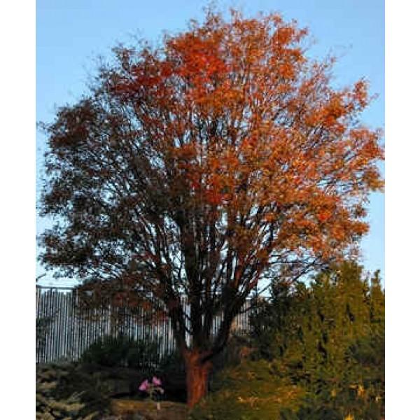 Paperbark Maple Tree Seeds