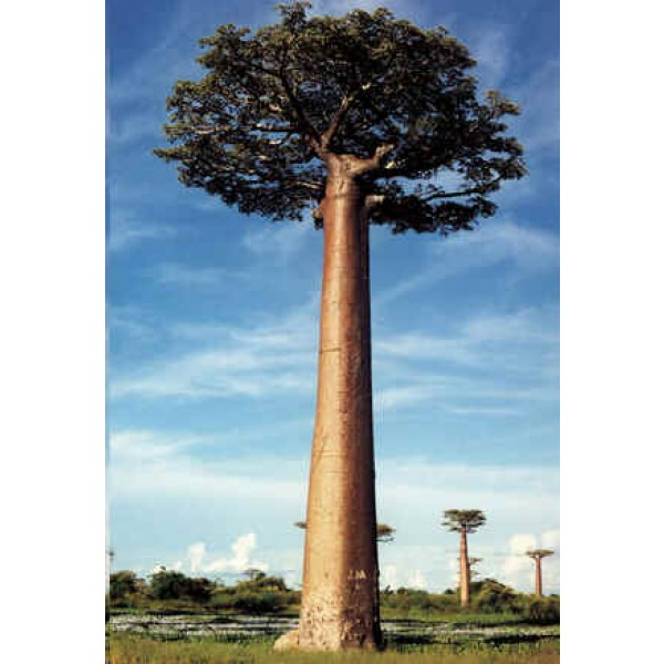 Adansonia Grandidieri (Giant Baobab)