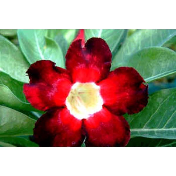 Adenium Obesum Black Beauty