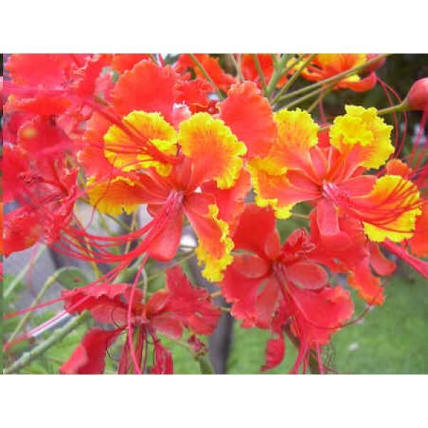 Barbados Pride, Dwarf Poinciana Seeds