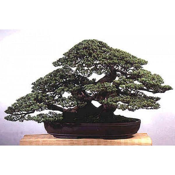Casuarina Cunninghamiana (Tropical Oak)