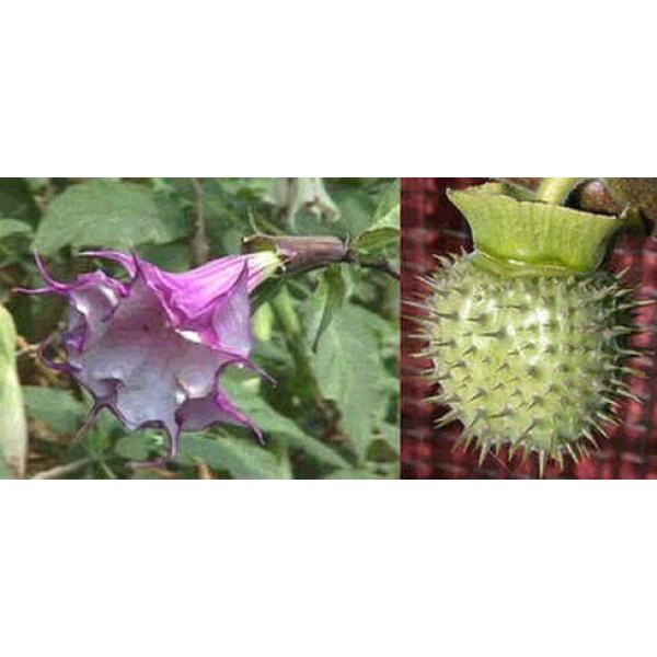 Datura Purple Double (Horn of Plenty) (Purple Queen Double)