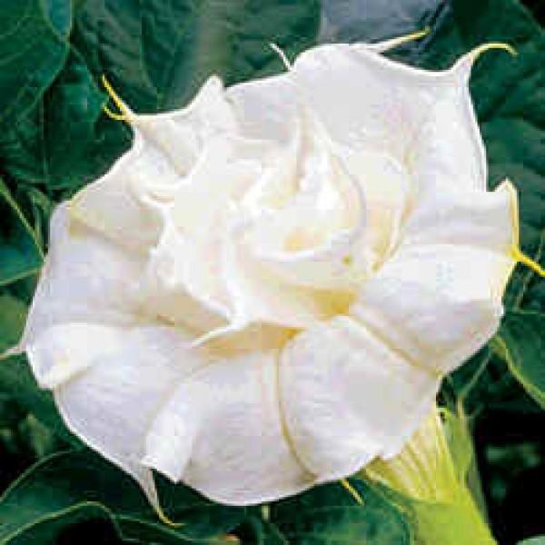 Datura White Double