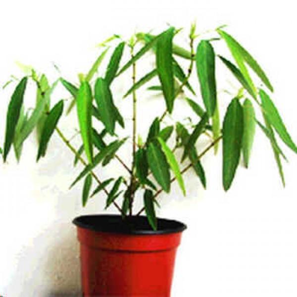 Codariocalyx Motorius Seeds (Telegraph Plant Seeds, Semaphore Plant Seeds, Desmodium Motorius Seeds, Desmodium Gyrans Seeds)