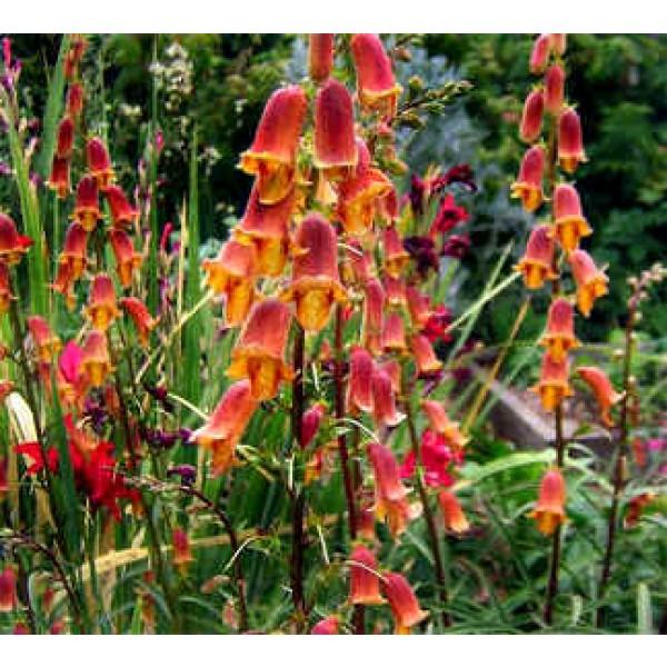 Dusky Maid Sunset Foxglove Seeds
