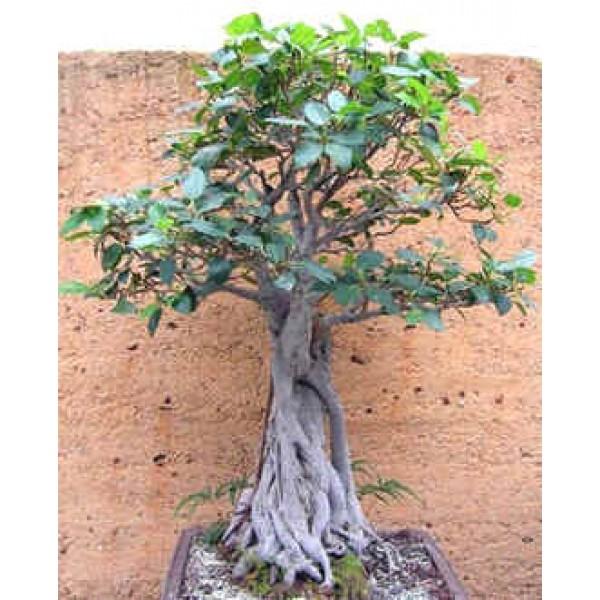 Ficus Macrophylla (Moreton Bay Fig)