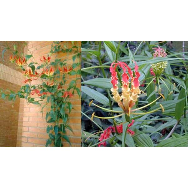 Gloriosa Rothschildiana (Glory Lily)