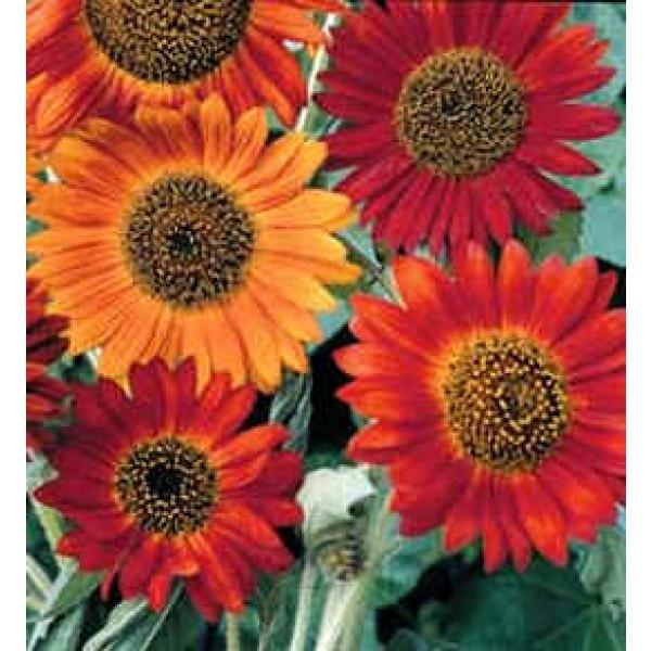 Helianthus Earthwalker (Sunflower)