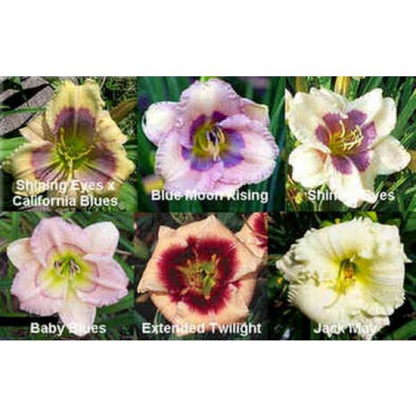 Daylily Diploid Seeds Hybrids Mix