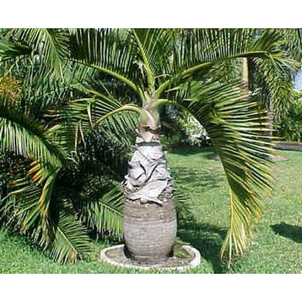 Bottle Palm Seeds