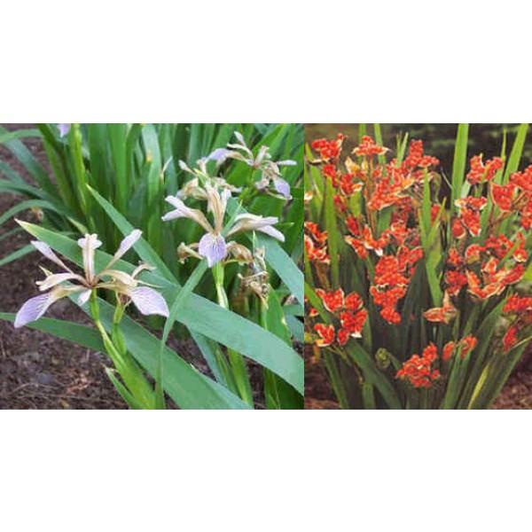 Iris Foetidissima (Gladwin Iris)