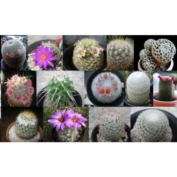 succulents seeds mix R 100 seeds of Selenicereus mix cacti mix