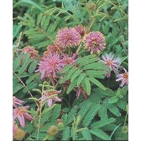 Mimosa Rupertiana (Eastern Sensitive Plant)