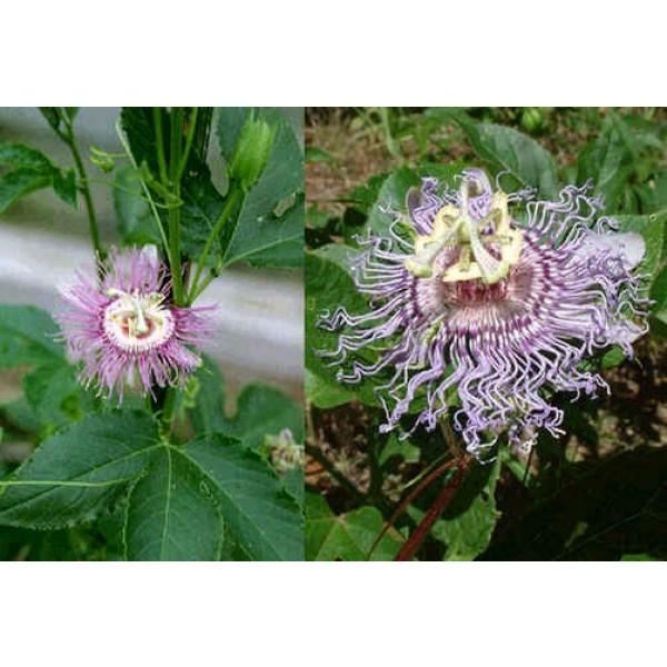 Passiflora Incarnata (Maypop Passiflora)