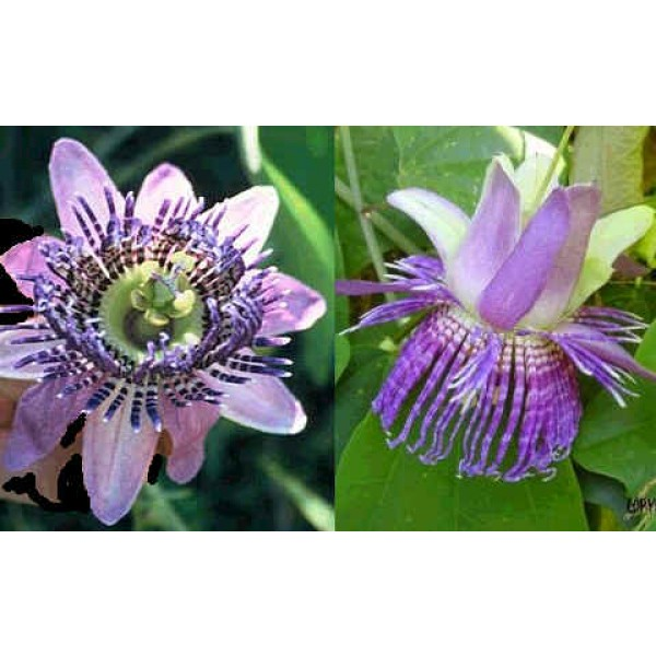 Passiflora Seemanii (Passion Fruit, Passion Flower)