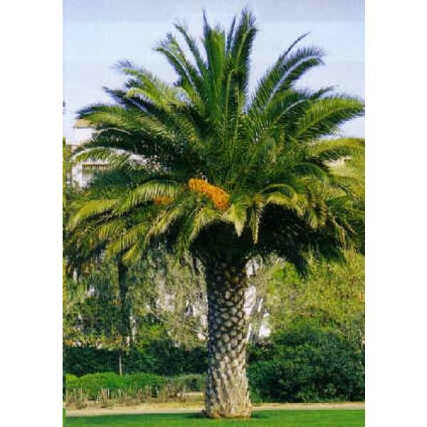 Phoenix Canariensis Seeds Macrocarpa Canary Island Date Palm