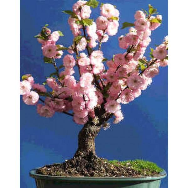 Rose Tree of China, Flowering Almond Seeds (Prunus Triloba Seeds) on Rarexoticseeds.com