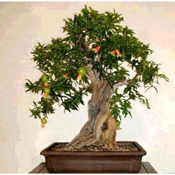 Punica Granatum Nana (Dwarf Pomegranate)