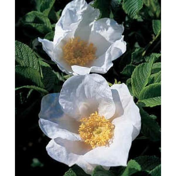 Rosa Rugosa Alba (Japanese Rose)
