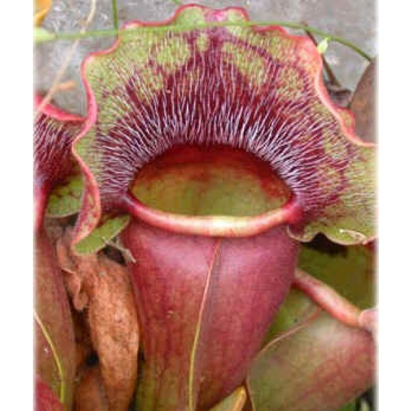 Sarracenia Purpurea (Purple Pitcher Plant)