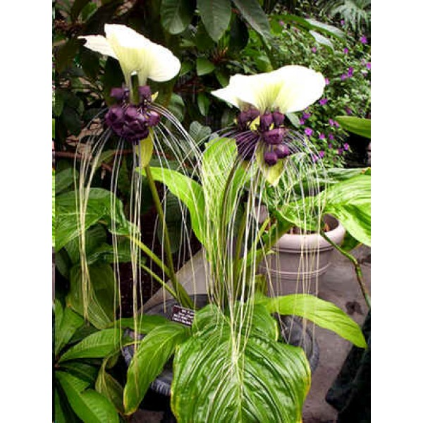 Buy White Bat Flower Seeds Rarexoticseeds