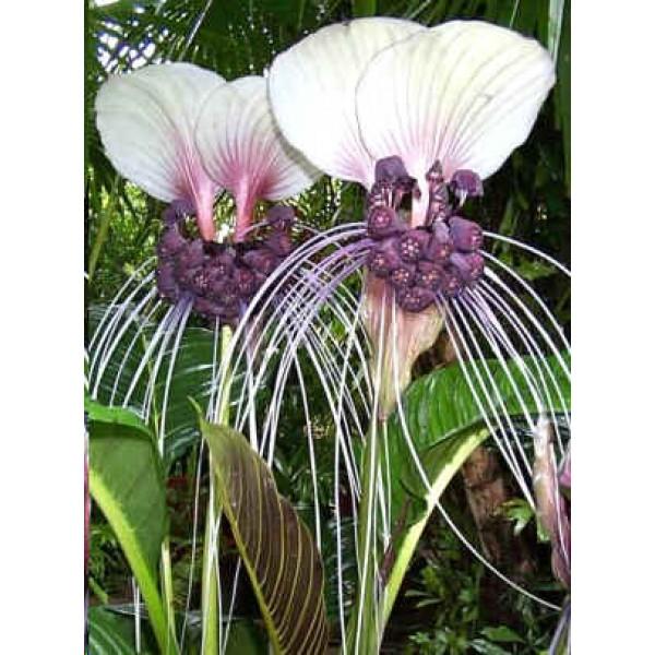 Tacca Integrifolia (Purple Bat Flower, Cat's Wiskers)