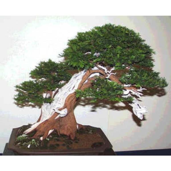 English Yew Seeds