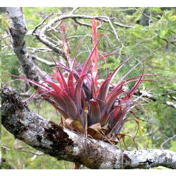 Tillandsia Polystachia (Epiphytic Bromeliaceae)