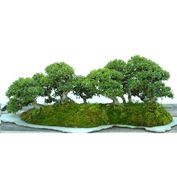 Ulmus Parviflora (Chinese Elm)