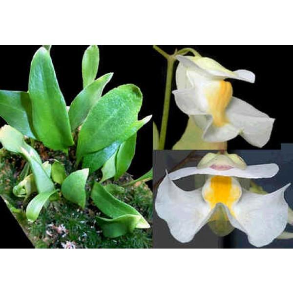 Utricularia Alpina (Alpine Bladderworts)
