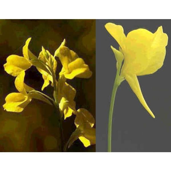 Utricularia Odorata