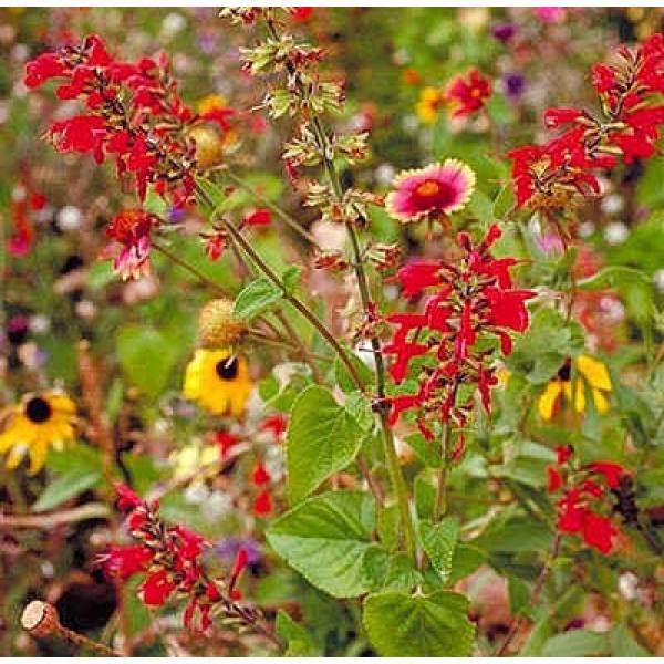 Wildflower Mix (Texas/Midwest Flower, America)