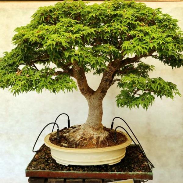 Japanese Maple Seeds