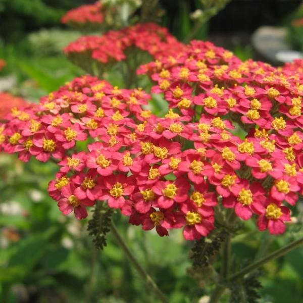 Achillea Millefolium Rubra (Rosy Red Yarrow)