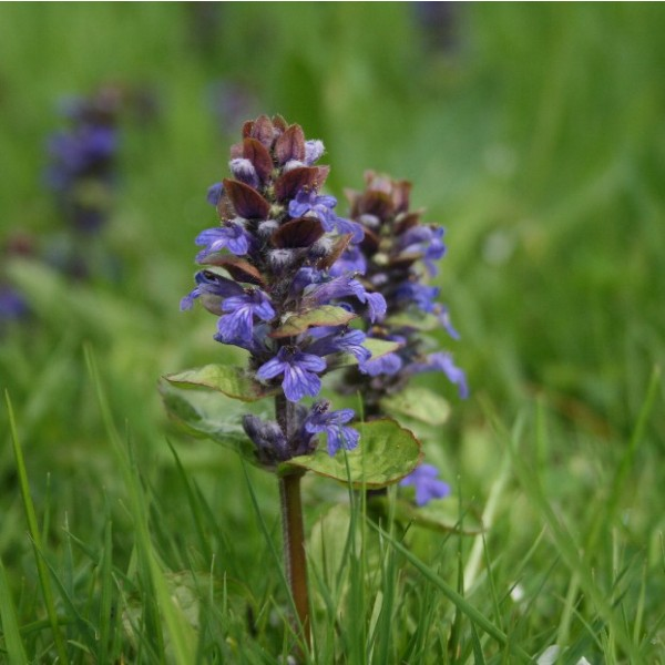 Ajuga Reptans Seeds (Blue Bugle Seeds)