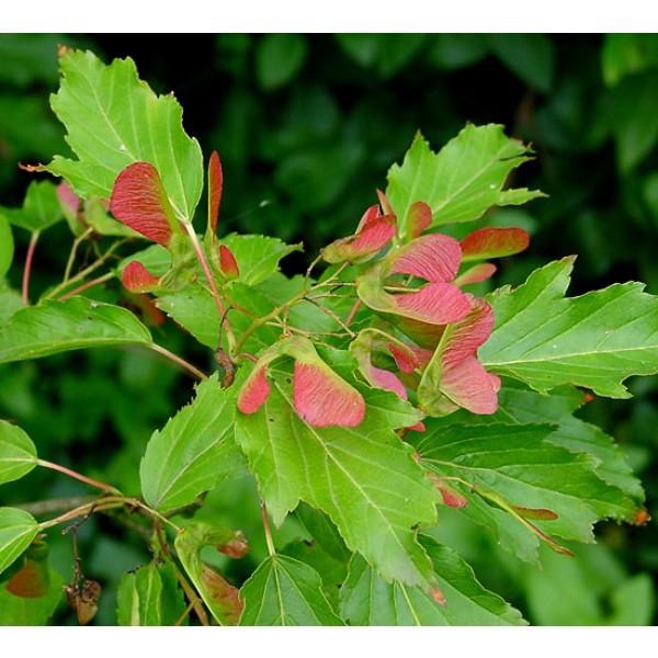 Amur Maple Seeds