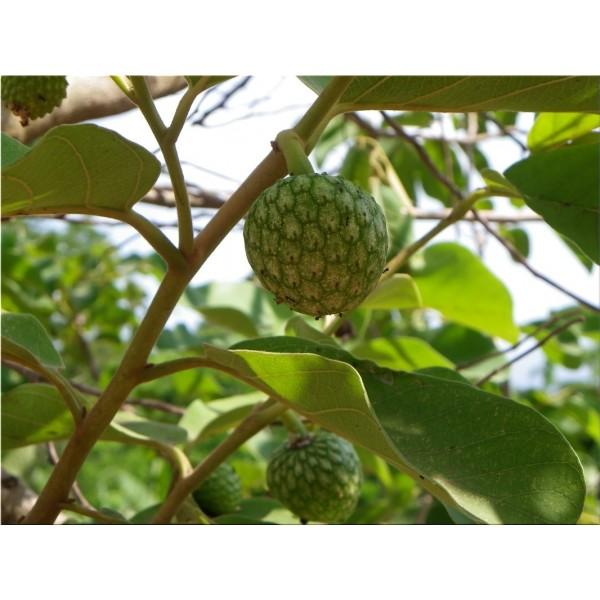 nnona Senegalensis (Annona Chrysophylla, Anone)