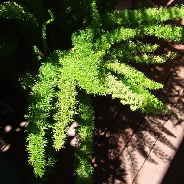 Asparagus Aethiopicus (Sprenger's Asparagus) - Asparagus Fern Seeds