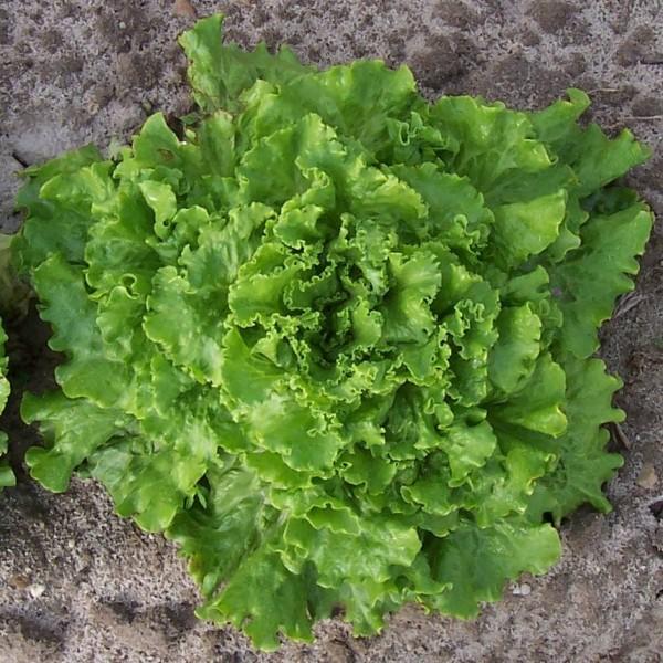 Bergams Green Lettuce Seeds